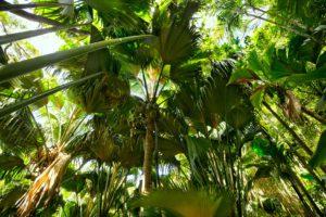 Vallée de Mai_Seychellen_Coco de Mer Palmen_Badeferien